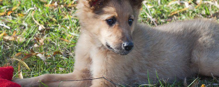 El Pastor Vasco es un tipo de perro procedente del País Vasco