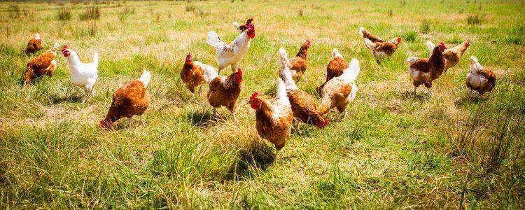 Las gallinas andaluzas son lasmás características de España