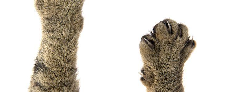 Las uñas de los gatos son cortas y afiladas