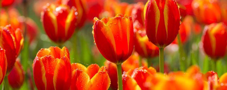 Los tulipanes son nocivos para nuestro animal