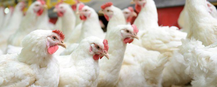 Las gallinas ponedoras descienden del Junglefowl rojo