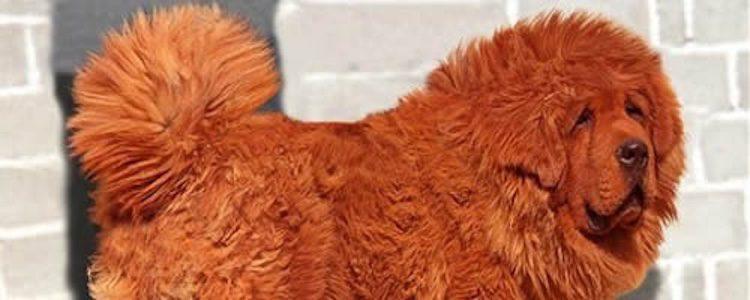 Dokhy es el perro más caro