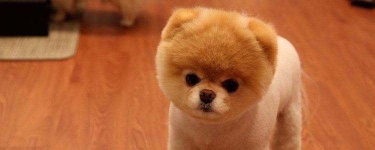 Boo Boo es el perro más pequeño