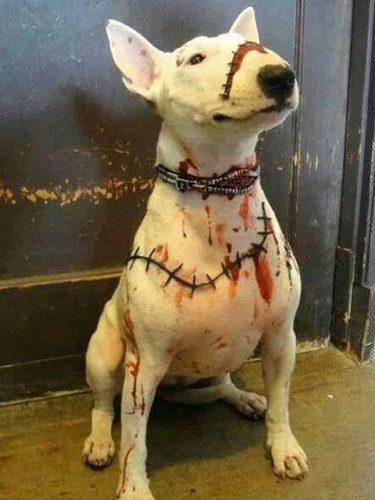 Un Bull Terrier lleno de pintura roja