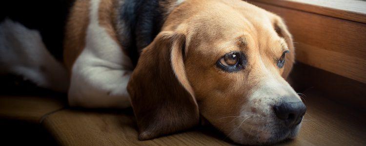 Tu perro puede tener depresión