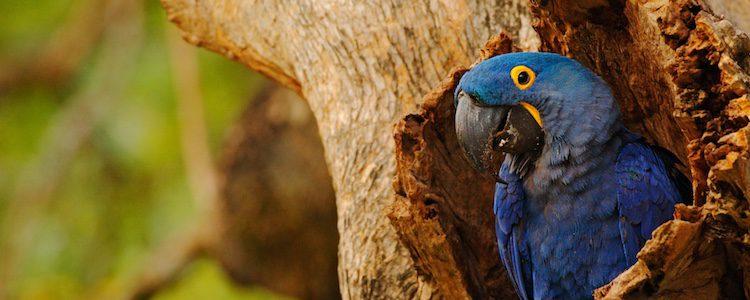 Hace nidos en los troncos de los árboles