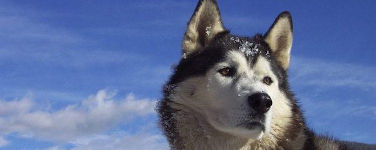 El Husky Siberiano se parece mucho al lobo