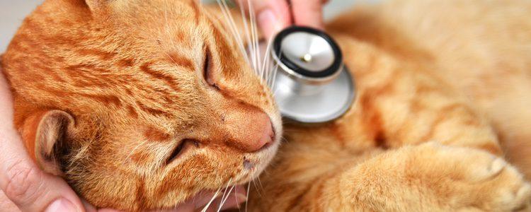 Los gatos pueden ronronear también cuando se encuentran mal