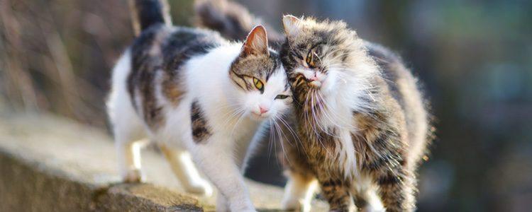 Los gatos ronronean cuando se encuentran en compañía de otro gato amigo