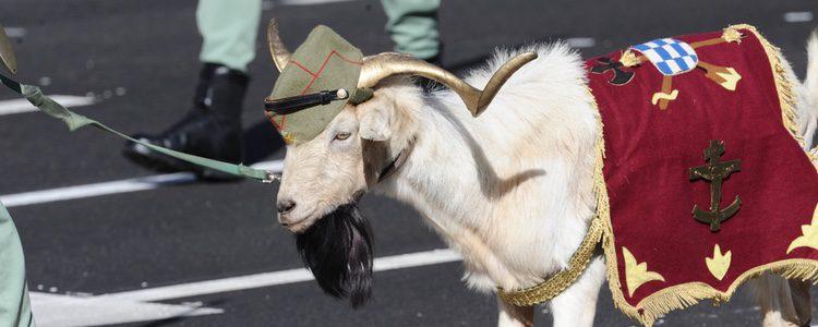 Aunque se la conoce como la cabra e la legión, ¡es un carnero!