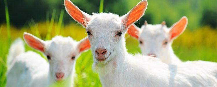 Si vives en un área natural puedes dejar libre a tu cabra