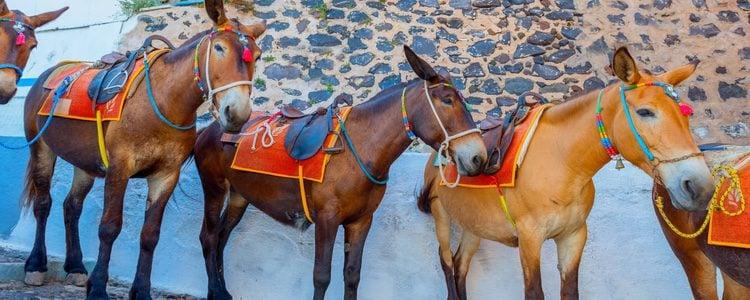 Burros por las calles de Santorini