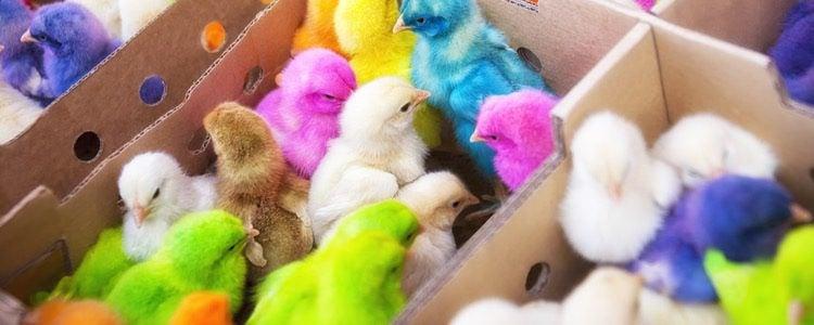 Pintan a los pollitos y los venden