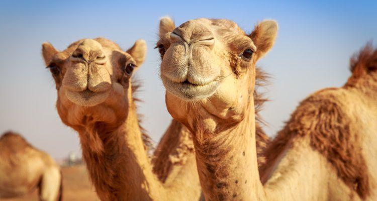El camello es el animal que todo el mundo cree que montaron