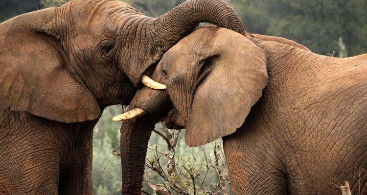 El Rey Baltasar fue en elefante