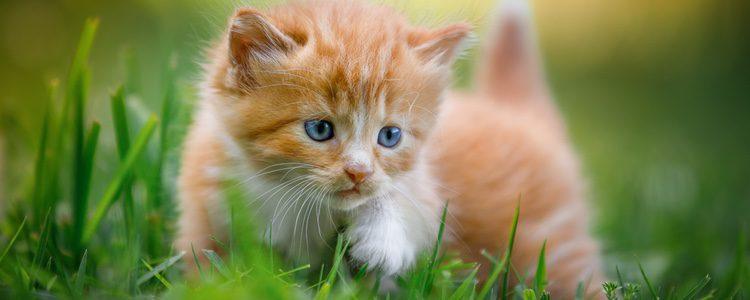 Las gatas comienzan con el celo cuando llegan a la pubertad, es decir, entre los 6 y 9 meses