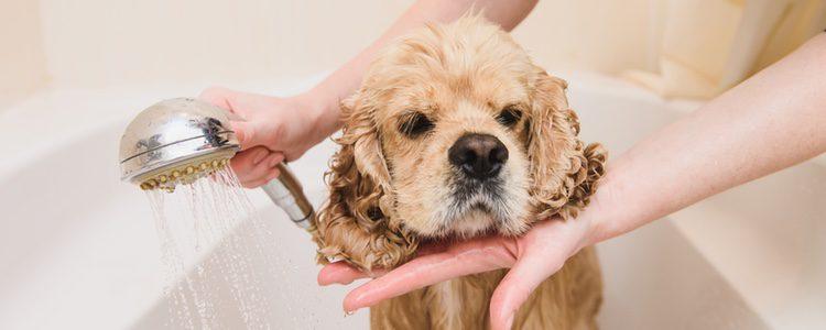 Algunas infecciones caninas pueden ser las causantes de esta patología