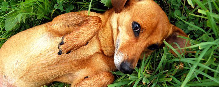 Los problemas dermatológicos también provocan mal olor en los perros