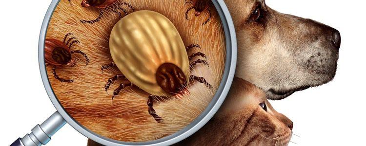Combate las infecciones producidas por pulgas y garrapatas