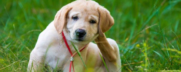 Las picaduras de insectos pueden provocar grandes molestias a tu mascota