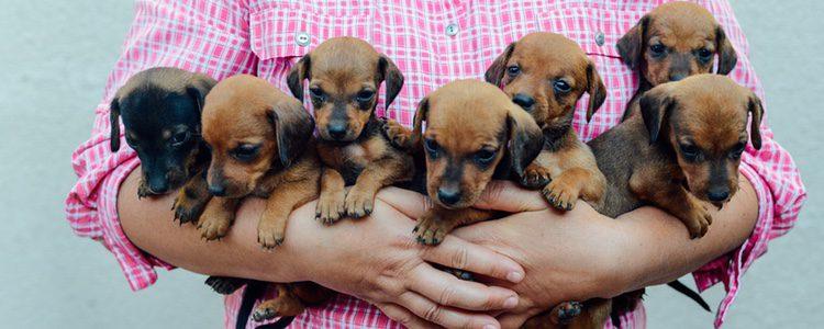 El número de cachorros que tendrá dependerá de su raza