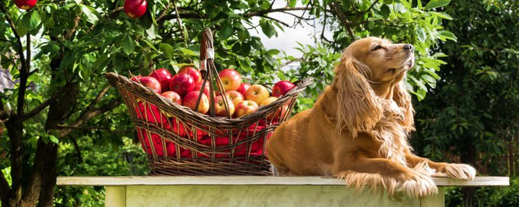 La manzana es una de las frutas preferidas de los perros