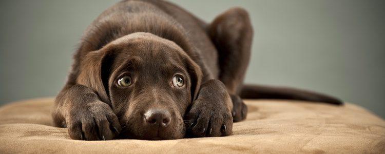 Muchos perros tienen pánico al veterinario