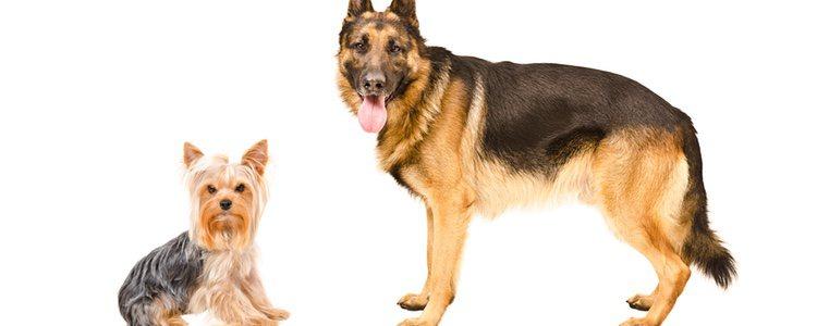 Los perros de tamaño grande son los que más cambio van a experimentar