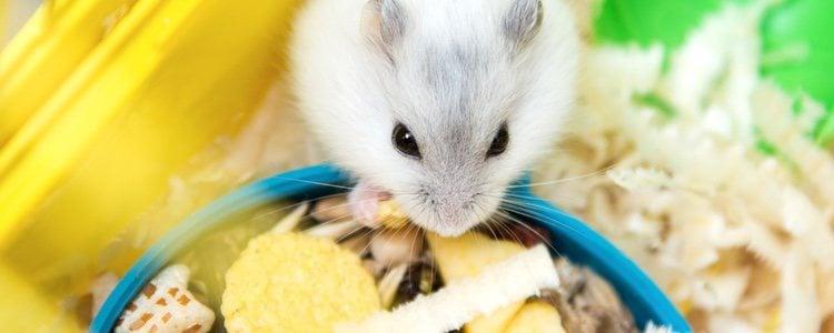 Los hámsters son ideales para hogares de poco espacio, ya que es un animal de tamaño muy pequeño