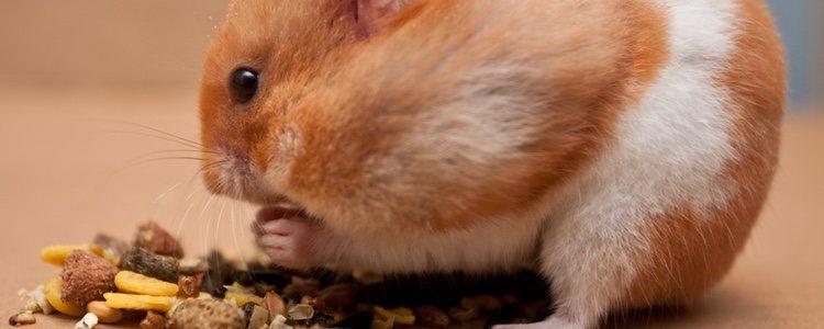 Hay que vigilar lo que come nuestro hámster, ya que es un animal con tendencia a la obseidad