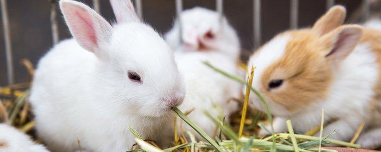 El heno ayuda a desgastar los dientes de tu conejo