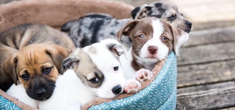 La apatía en una perrita podría ser un síntoma de embarazado de nuestra mascota