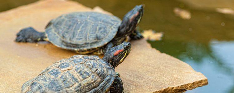 El duro caparazón de las tortugas, que se compone de placas, con los años van aumentando su tamaño