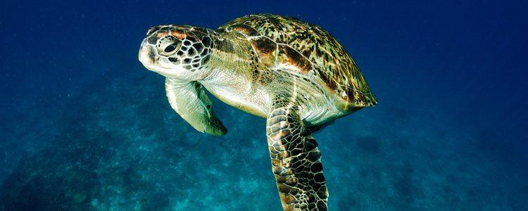 Las tortugas marinas tienen las patas formadas por membranas entre sus dedos, que les permiten nadar