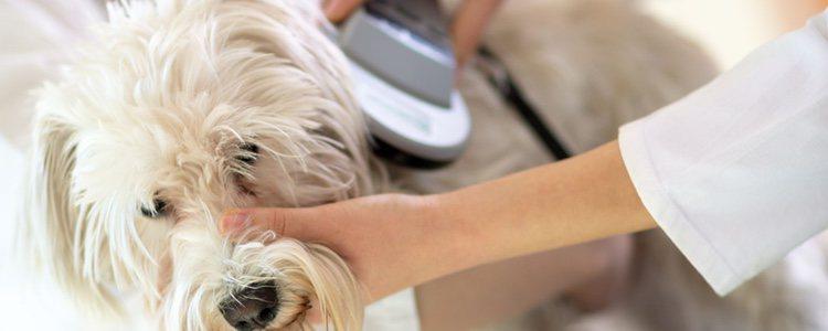 Acude al veterinario cada año para revisar su correcta posición