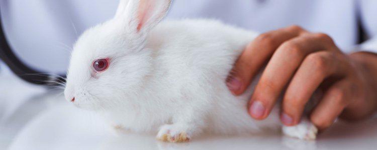 La pérdida de peso es una de las principales señales de que tu conejo podría sufrir problemas dentales