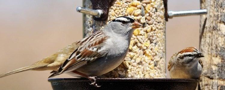 Como muchos otros pájaros, requiere de una dieta muy equilibrada
