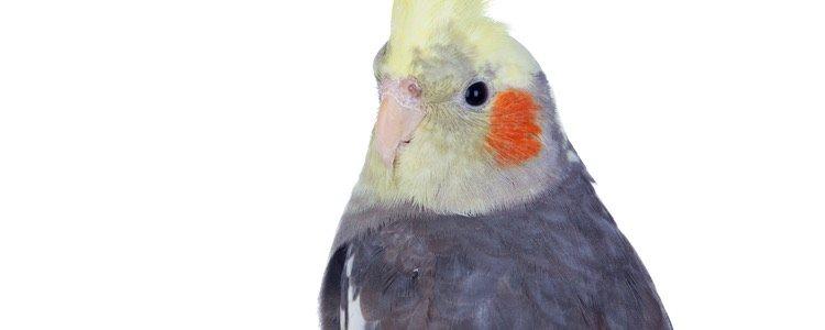 Los machos tienen las alas grises