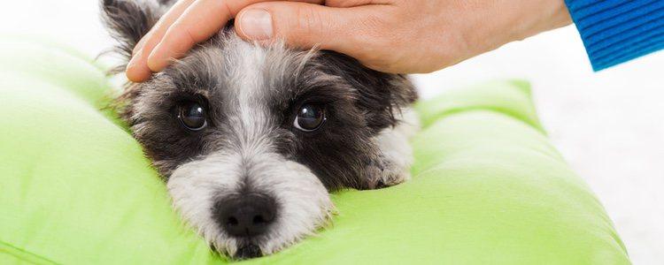 La falta de satisfacción de las necesidades sexuales de tu perro puede generarle frustración e incluso ansiedad