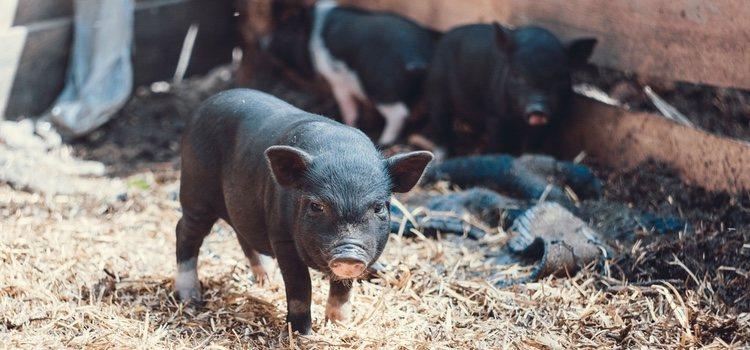 Los cerdos vietnamitas, pese a ser de un tamaño mucho menor que los comunes, suelen vivir entre 15 y 20 años