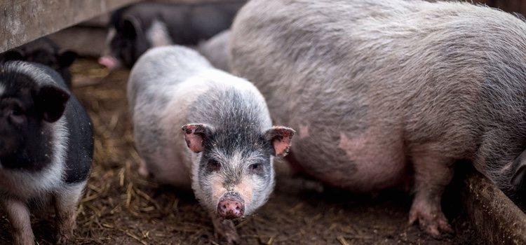 El peso de los cerdos vietnamitas se reduce considerablemente, ya que suelen pesar alrededor de 45 kilogramos