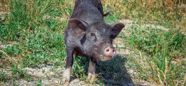 Es importante que los cerdos vietnamitas hagan mucho ejercicio porque son propensos a engordar con facilidad