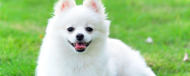 Los perros pomerania se caracterizan por tener varias capas de pelo, algo característico de su raza