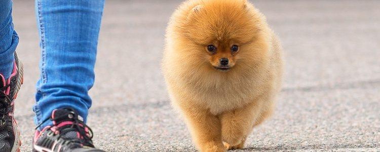 Ten cuidado a la hora de cepillar el pelo a tu mascota para no hacerle nudos en el pelo