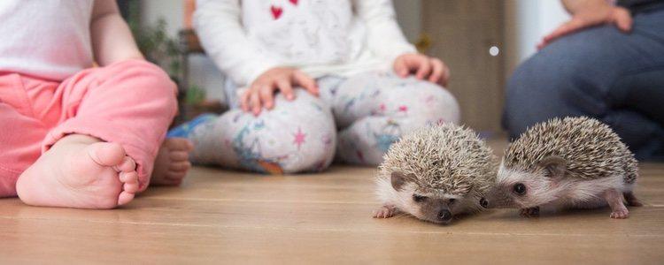 El erizo no es tan social como otros animales