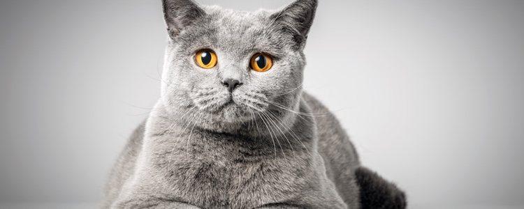 El estilo de vida sedentario puede tener consecuencias en el gato