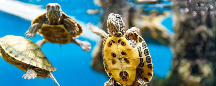 Permitir que la suciedad se acumule en el acuario suele ser una de las principales causas que hacen enfermar a la tortuga