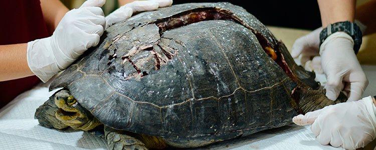 Una herida profunda puede haber dañado algún órgano de la tortuga y se debe acudir de inmediato al veterinario