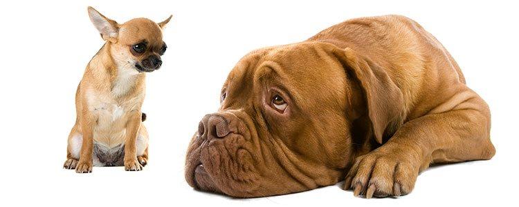 A un perro pequeño se le debe educar de la misma forma en la que se haría con un perro grande