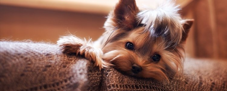 El síndrome del perro pequeño es algo muy habitual